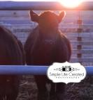 Cow at Dawn