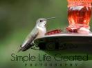 Back Yard Hummingbird