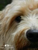 Picture for Alki Kennel Goldendoodles